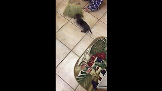 Fearless puppy adorably attacks dreaded broom
