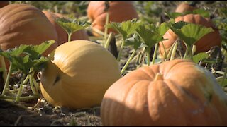 Carlsbad pumpkin patch opens for the 2020 season, complete with an apple cannon
