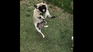 Compilation of pug catching fails in epic slow motion