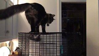Sugar Glider Scares Cat