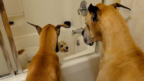 Patient Great Danes wait in line for a drink after Russell Terrier