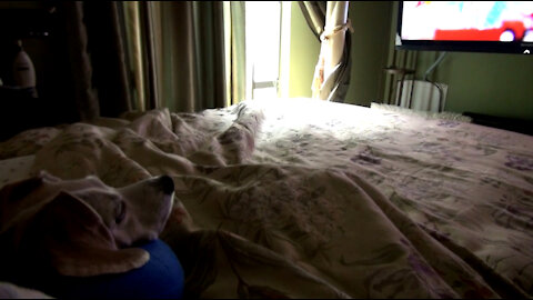Beagle Sick in Bed
