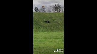 Senior Labrador caught on camera rolling down a hill