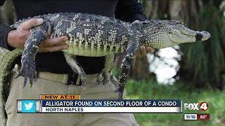 Alligator found on second-floor of Naples condo building