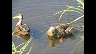 Beautiful wild Mallard duck with young's