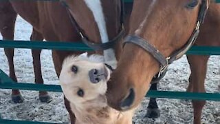 Dog becomes friends with two horses