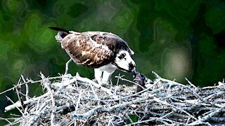 Osprey feeding it's young a special treat