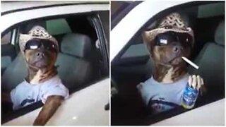Pitbull lytter til countrymusikk i stil