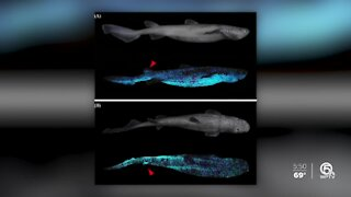 Glowing sharks discovered off New Zealand
