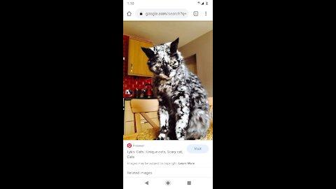 The Werewolf Cat: Lykoi Rescue