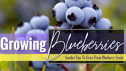 Growing Blueberries (from blueberries)