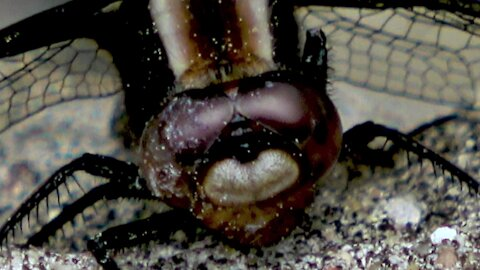 Extreme close up reveals dragonflies wear aviator shades