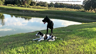 Peaceful Great Danes Love to Relax in the Shade Together