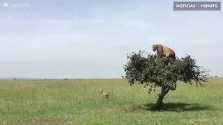 Quantas leoas cabem em uma árvore?