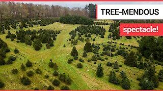 Spectacular birds eye footage shows a Christmas tree farm with 18,000 trees