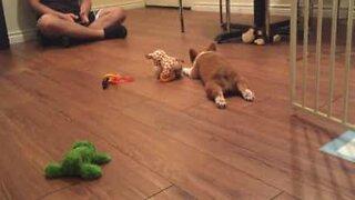 Adorable Corgi puppy get tired easily