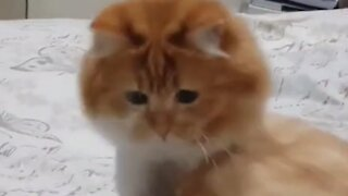 Cat doesn't recognize her tail after getting a fur trim