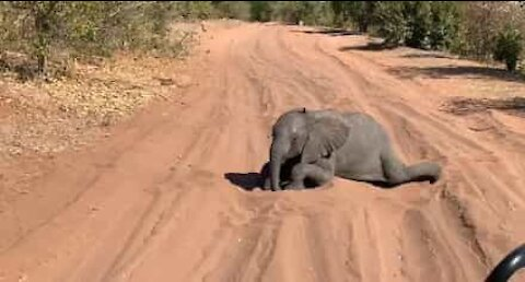 Elefante bebé interrompe safari para brincar