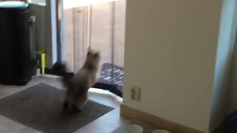 Cat hilariously leaps through screen every single time