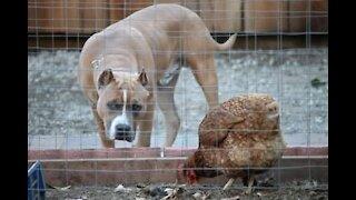 Hilarious Combat between Dog and Chicken