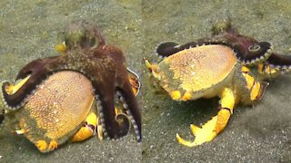 Octopus fighting with crab