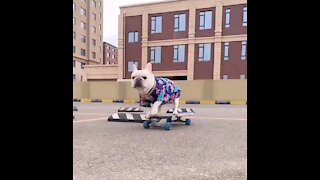 Dog Skateboarding skills