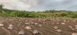 Sea turtles crawling ashore in Costa Rica