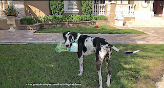 Great Dane proudly delivers the newspaper