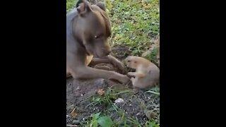 Dog and groundhog argue