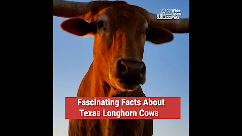 Fascinating Facts About Texas Longhorn Cows