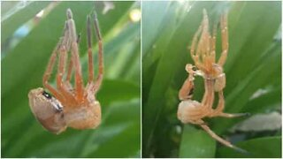 Fascinating moment giant spider sheds its skin