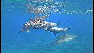 Shark Week at Electric Beach, Oahu!