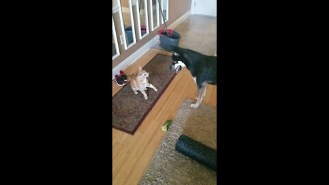 Must see, pup plays fetch with.......