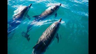 Simpatici delfini guidano un motoscafo verso il porto