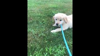 Golden Retriever puppy decides to walk herself