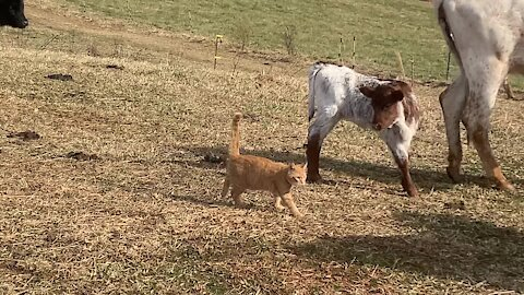 Farm cat loves the cows, walks right through the herd