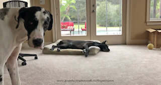 Howling Great Dane Interrupts Doggie Naptime