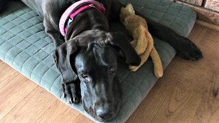 Great Dane puppy adorably squeaks her toy with her nose
