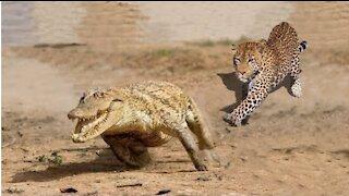 Beautiful Jaguar Vs Crocodile