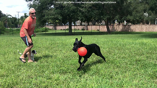 Happy Great Dane Shows Off Jolly Ball Zoomies to New Puppy