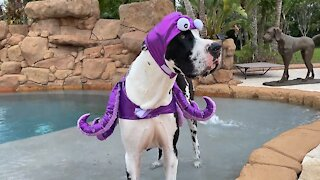Funny Great Dane shows off his Halloween octopus costume