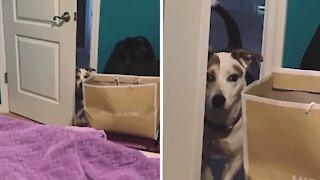 Dog overthinks doorway, needs help getting inside