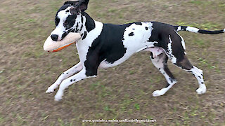 Great Danes Have Fun Playing With Pizza Slice Toy