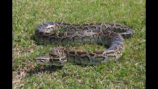 Serpente gigante trovata in una strada negli USA