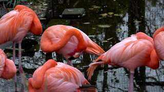 Stunningly colored flamingos fill this garden pond