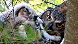 Baby owl shares breakfast in the nest with his mother