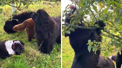 Newfoundland dogs adorably decide to go apple picking