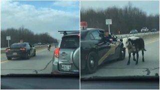 Police chases runaway cow on a highway