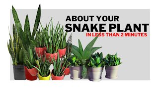 All About the Snake Plant in less than 2 minutes