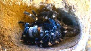 Footage captures rare moment tarantula sheds its skin
